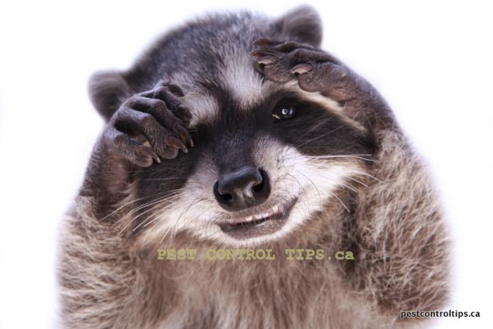 baby-raccoons-control-tips