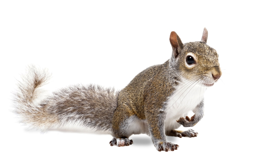 Pest Control Tips, Squirrel Removal